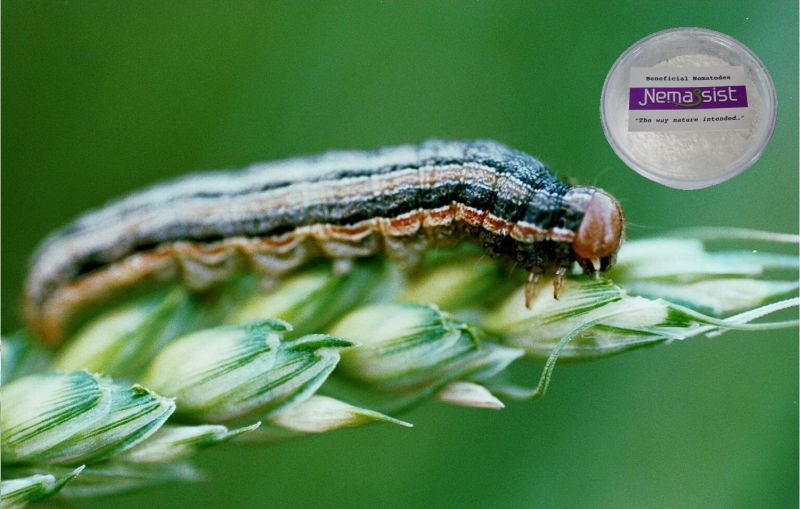 Nemassist beneficial nematodes for Beneficial nematodes for termites